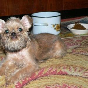 Продам щенка брюссельского гриффона