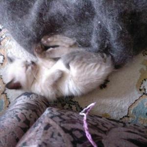Продаётся котик невский маскарадый