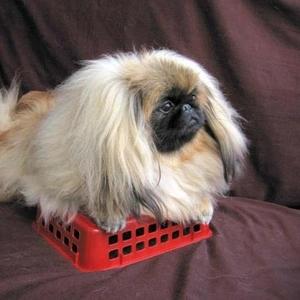 Продаётся щенок пекинеса дев 4 мес